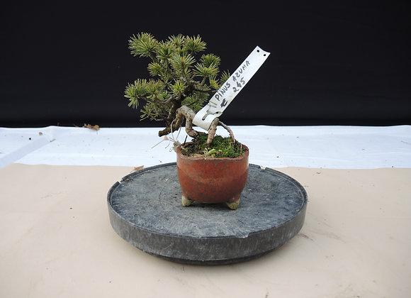 301 - Pinus Azuma