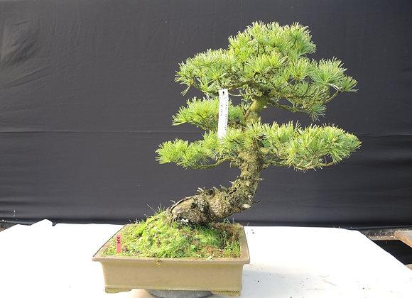 456 - Pinus Parviflora