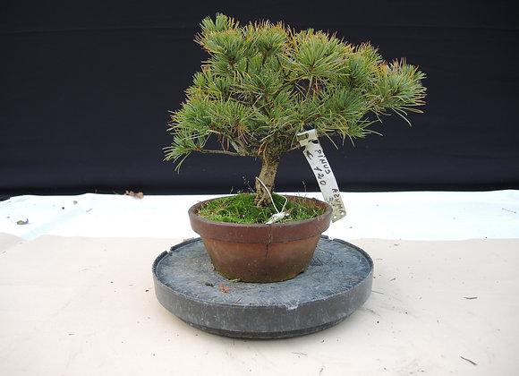331 - Pinus Azuma