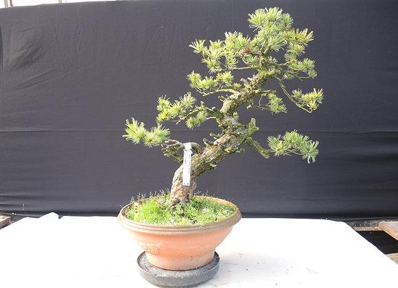 453 - Pinus Parviflora