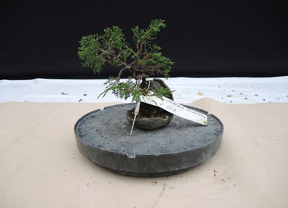 155 - Juniperus Chinensis