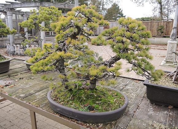 212 - Pinus Azuma