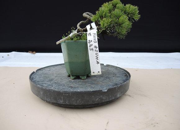 303 - Pinus Azuma
