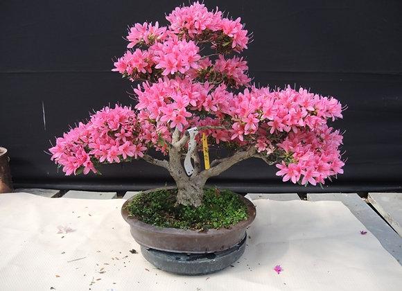 65 - Satsuki Azalea