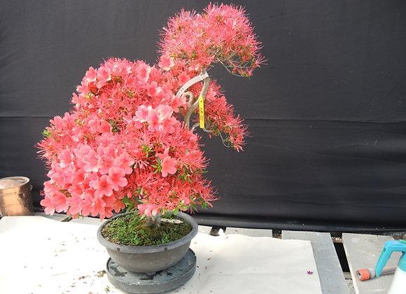55 - Satsuki Azalea