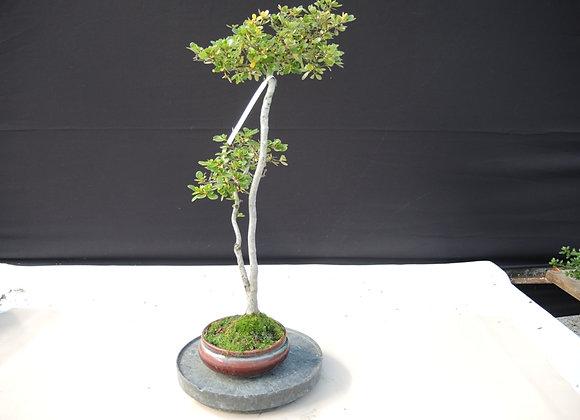 95 - Satsuki Azalea