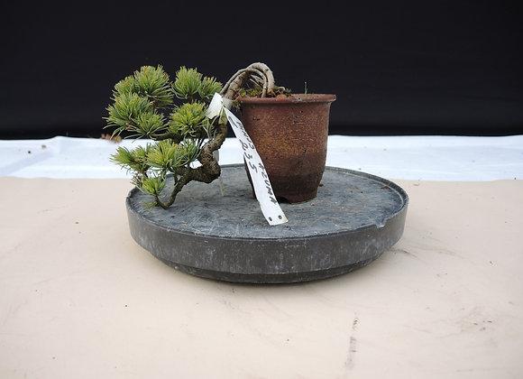 307 - Pinus Azuma