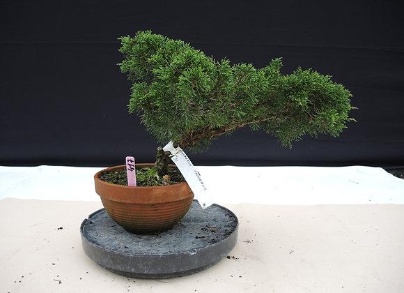 417 - Juniperus Chinensis