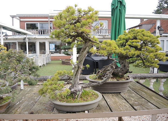 210 - Pinus Azuma