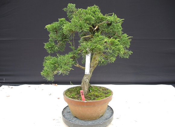 402 - Juniperus Chinensis