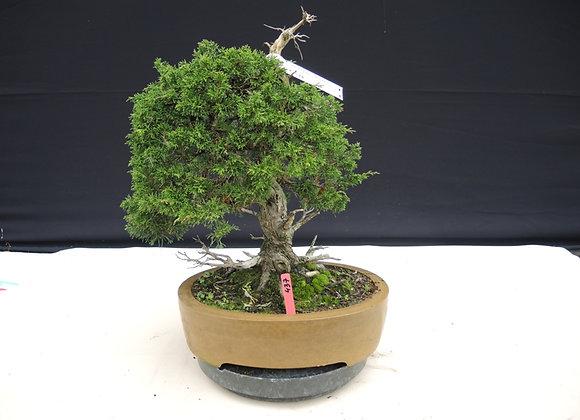 437 - Juniperus Chinensis