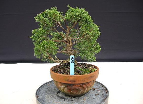 426 - Juniperus Chinensis