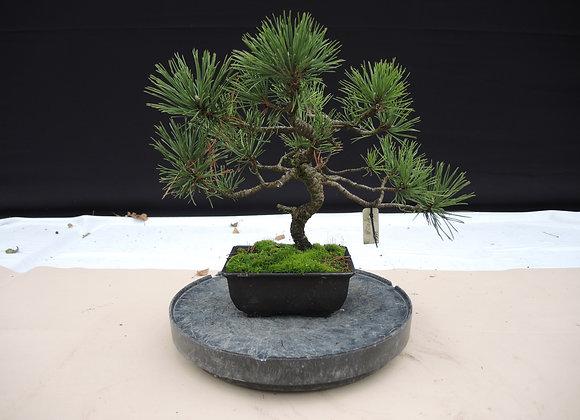 312 - Pinus Azuma