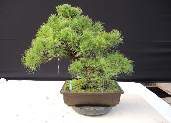444 - Pinus Parviflora