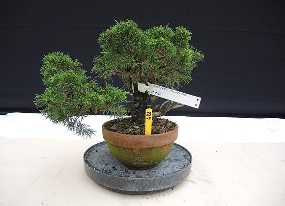 422 - Juniperus Chinensis