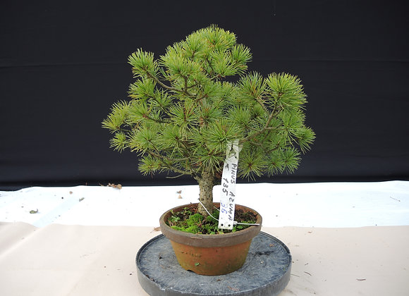 336 - Pinus Azuma