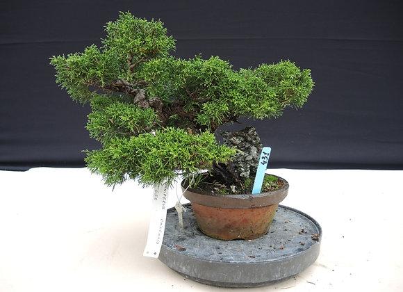 431 - Juniperus Chinensis