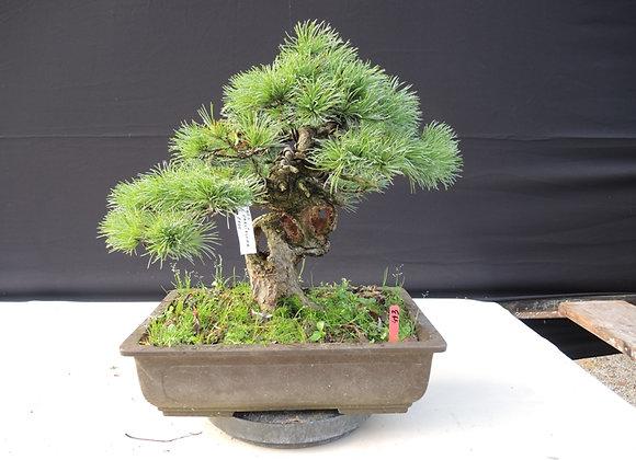 443 - Pinus Parviflora