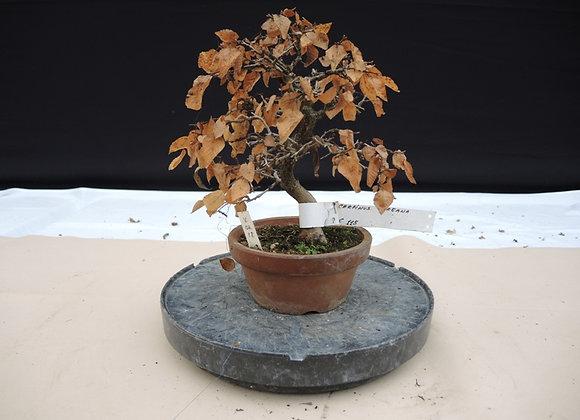 138 - Carpinus Coreana