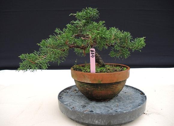 319 - Pinus Azuma