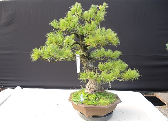 445 - Pinus Parviflora