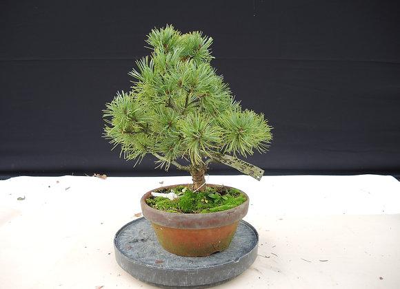 337 - Pinus Azuma