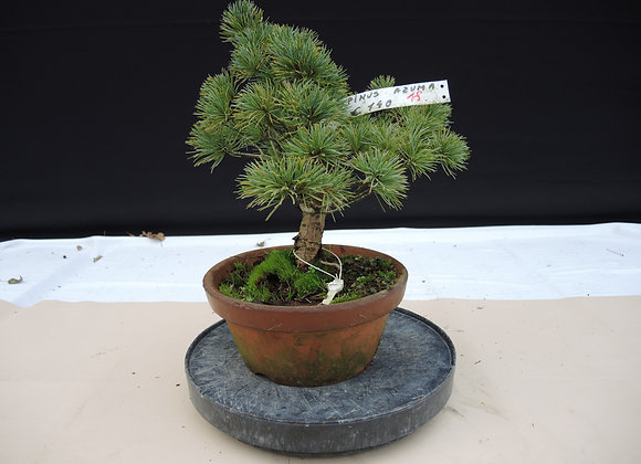 318 -  Pinus Azuma