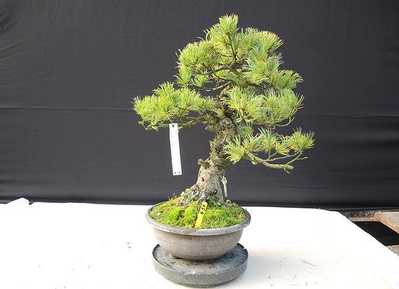 451 - Pinus Parviflora