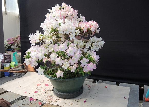 47 - Satsuki Azalea