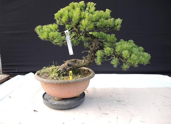 450 - Pinus Parviflora