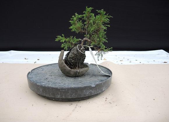 154 - Juniperus Chinesis