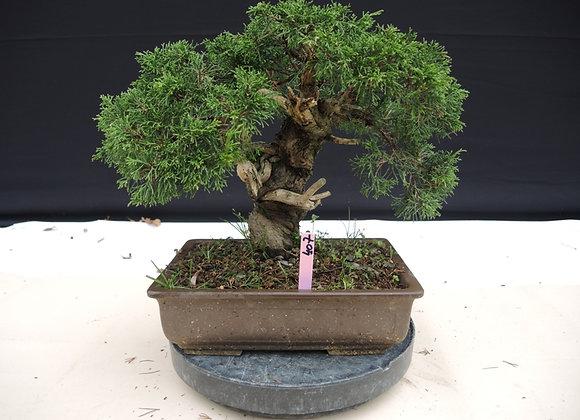 407 - Juniperus Chinensis