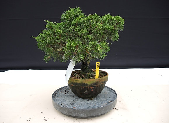 409 - Juniperus Chinensis