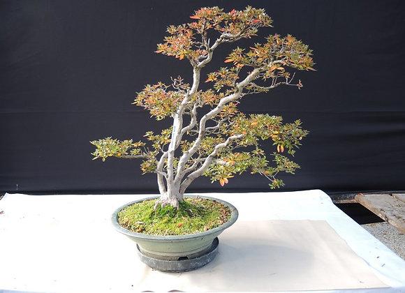 54 - Satsuki Azalea