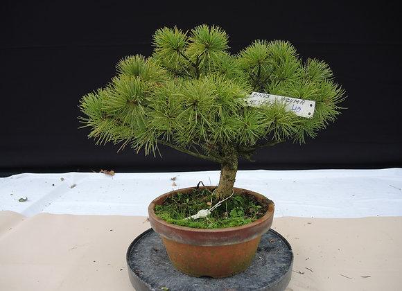 340 - Pinus Azuma