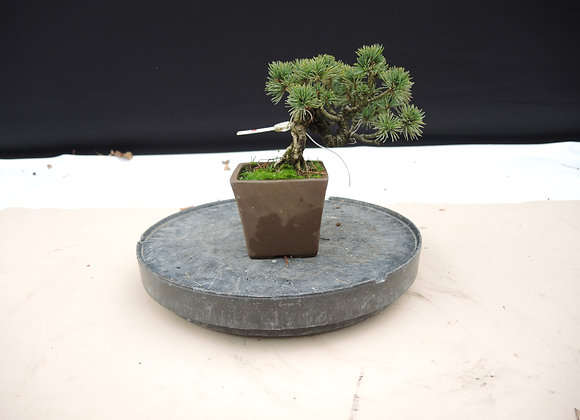 309 - Pinus Azuma