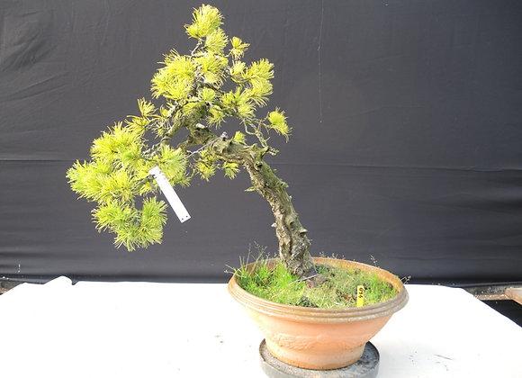 448 - Pinus Parviflora