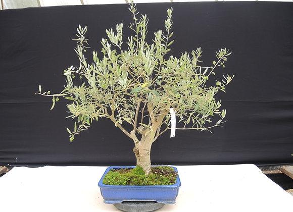 176 - Olive tree