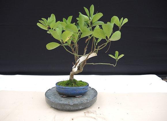 174 - Ficus