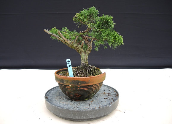 427 - Juniperus Chinensis