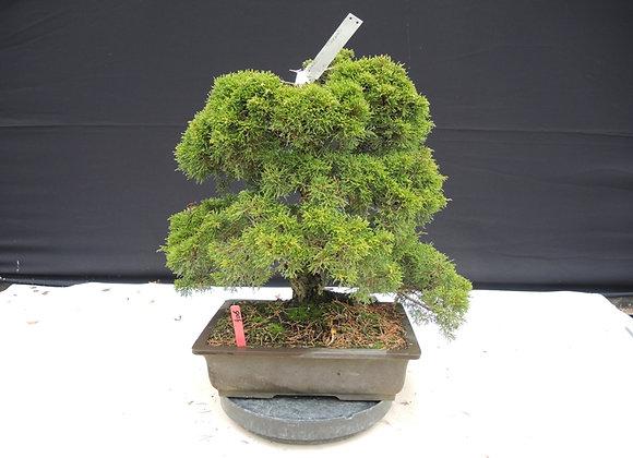 406 - Juniperus Chinensis