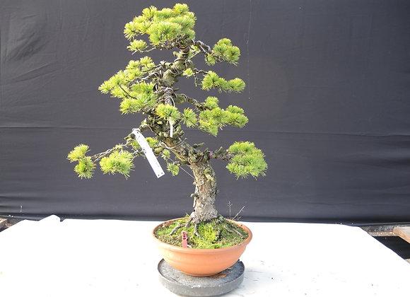 460 - Pinus Parviflora