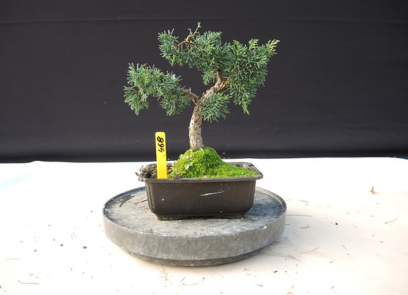 468 - Juniperus Chinensis