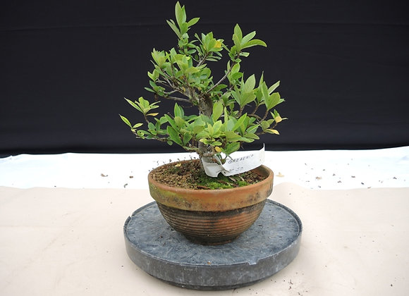 148 - Gardenia