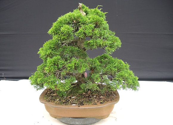 438 - Juniperus Chinensis