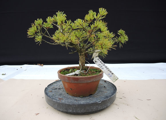 339 - Pinus Azuma