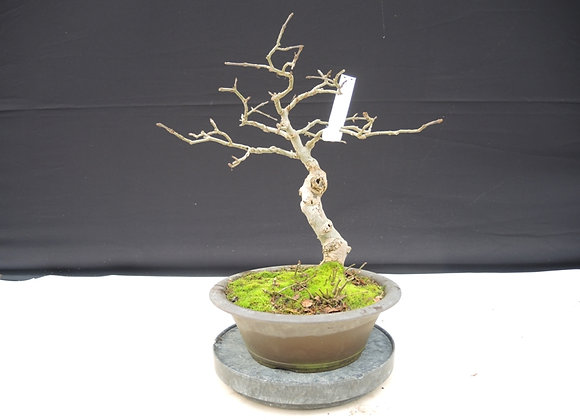 186 - Fraxinus Excelsice