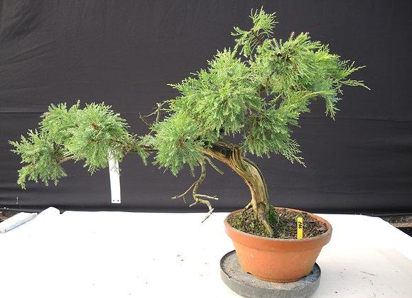447 - Pinus Parviflora