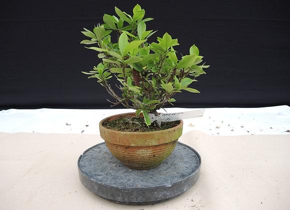 144 - Gardenia