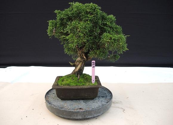439 - Juniperus Chinensis
